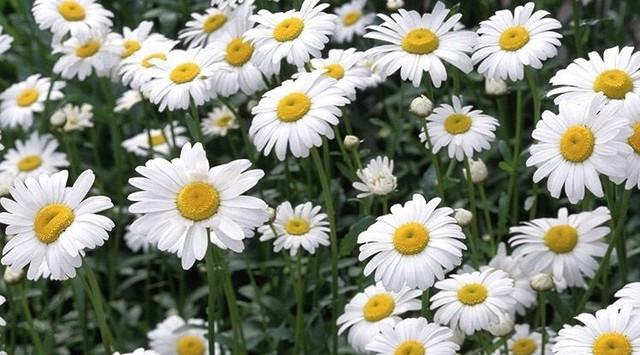 Hoa cúc la mã có công dụng dưỡng da hiệu quả